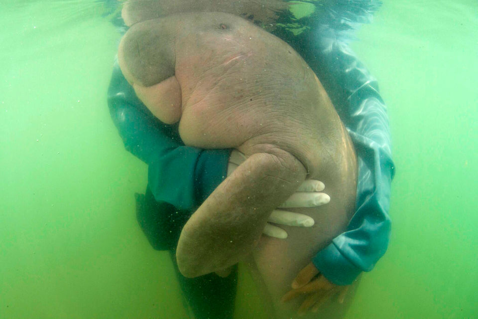 Thai vets nurture lost baby dugong with milk and sea grass: See photos