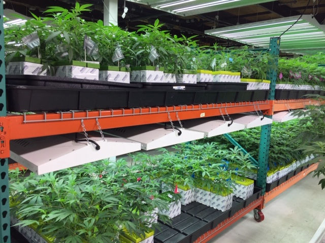 See inside the marijuana facility growing some of