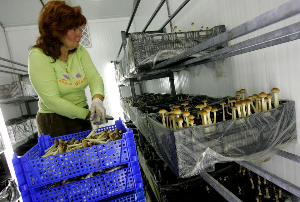 First, marijuana  Are 'magic' mushrooms next? - oregonlive com