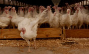 Talking turkey with Bob Bitz, former owner of Plainville farms