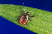 Lyme disease is on the rise in U.S., but what about ticks in Oregon?