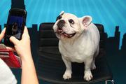Top 10 most popular dogs in US: Labs, French bulldog, more (photos)