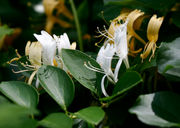 Honeysuckle: A pretty smell on Staten Island these days