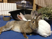 Senior bunnies find a loving sanctuary with Cleveland's Buckeye House Rabbit Society (photos)
