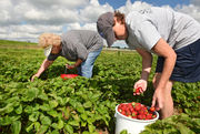50 places to pick the freshest strawberries in Upstate New York