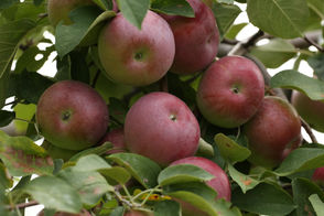 If you only do one fall activity in Upstate NY this year, chances are it's going to be apple picking. Nothing says fall like taking the family to the orchard for a day of picking and fall fun, and there's no shortage of U-pick destinations to visit in Upstate New York. Below, you can find a complete list of more than 100 apple orchards in Upstate NY, organized by county. Find an apple orchard near you, and go pick something delicious.