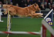 Is the Westminster Kennel Club Dog Show really a sporting event?