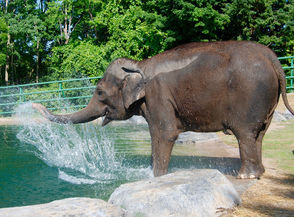 Romani the Asian elephant